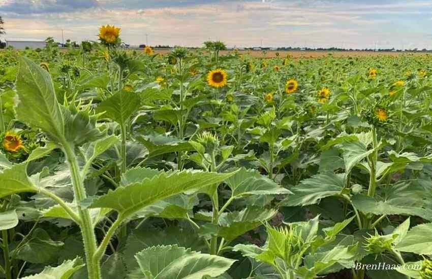 Riker Seed - sunflowers 2020