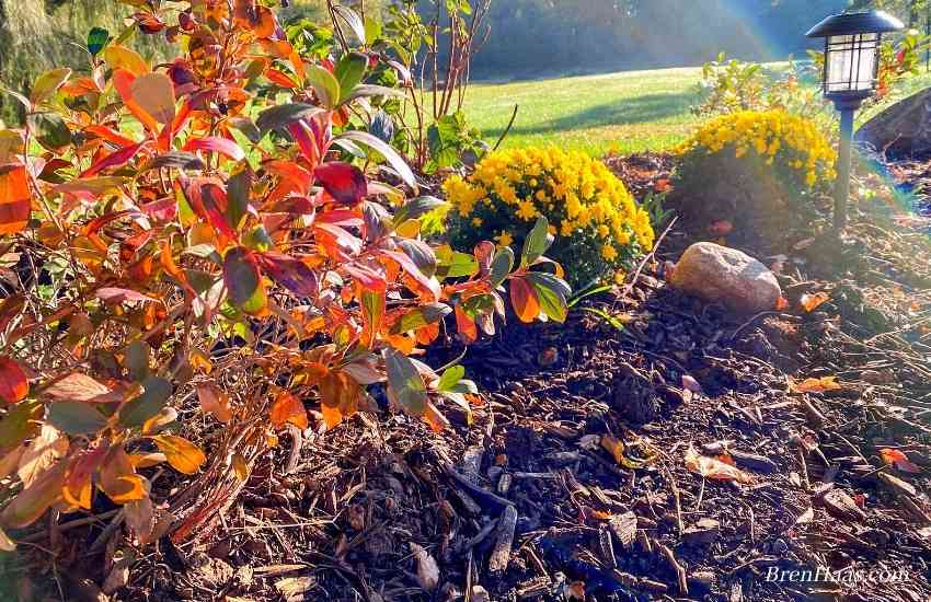 Autumn Color on the Aronia