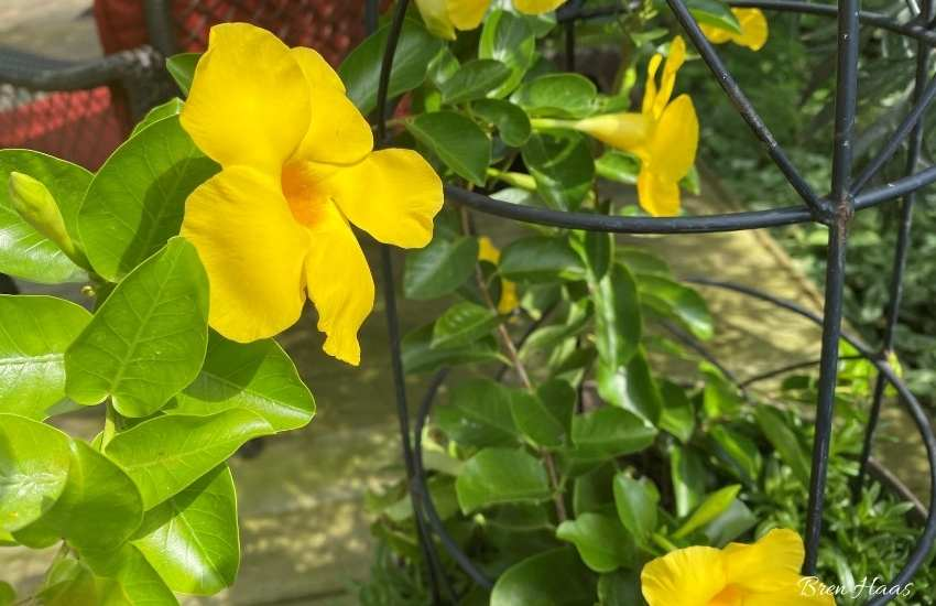 summer romance yellow mandevilla