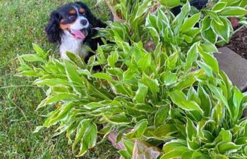 Puppy and Loads of Hostas To Garden