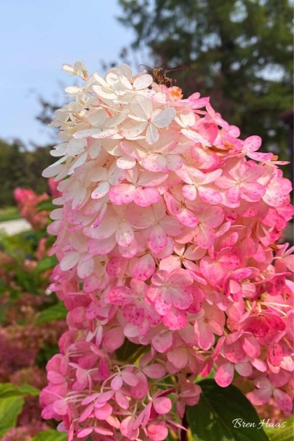 perfect color on the vanilla strawberry hydrangea bloom