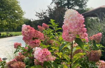vanilla strawberry hydrangea in the landscape