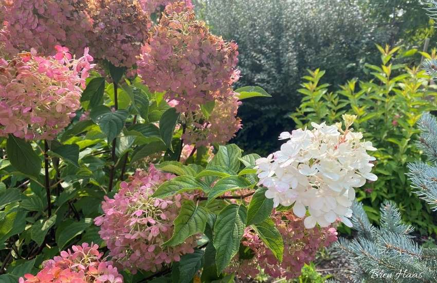 random blooms of the strawberry hydrangea shrubs