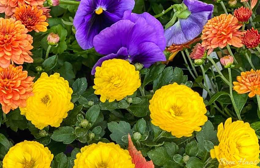 purple orange and yellow autumn flowers
