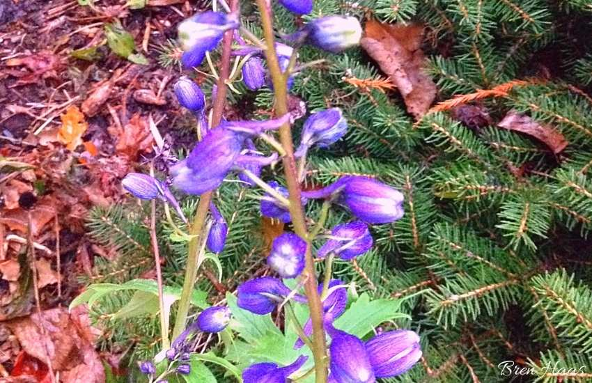 delphiniums bloom in late summer