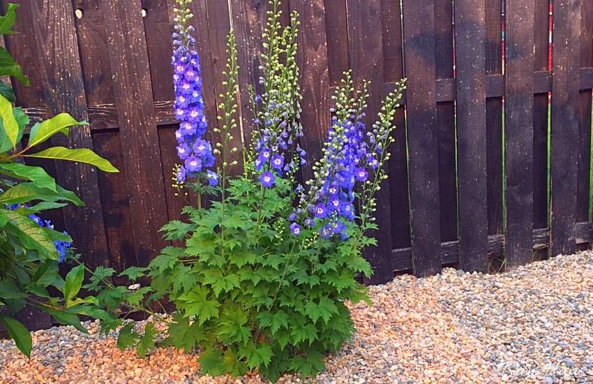 Delphiniums in Restaurant Garden