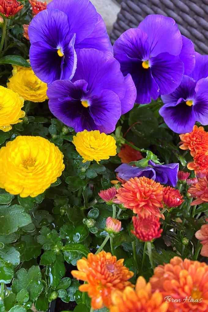 gigi mums and purple pansy
