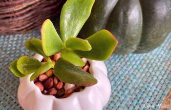 jade in ceramic pumpkin planter