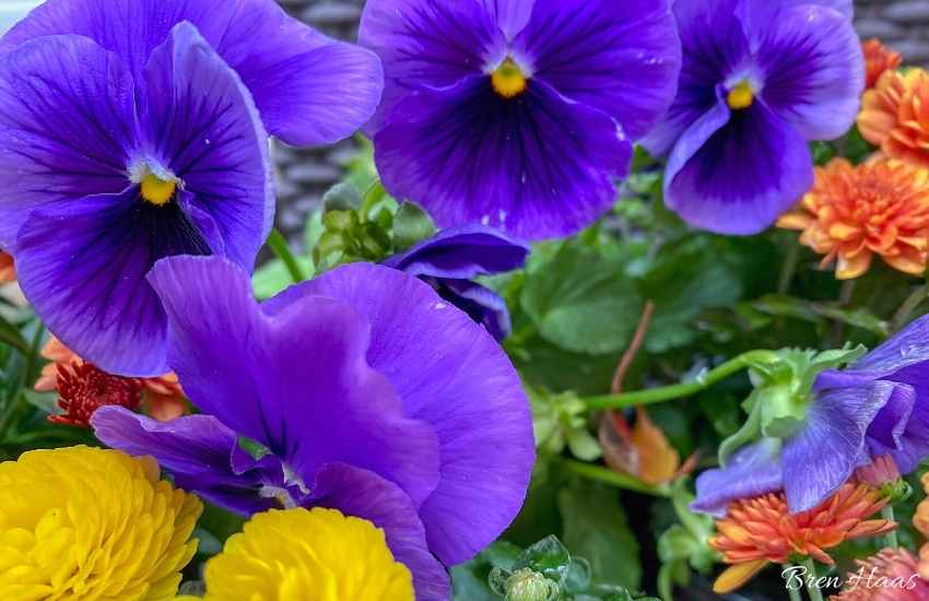 upclose purple pansies