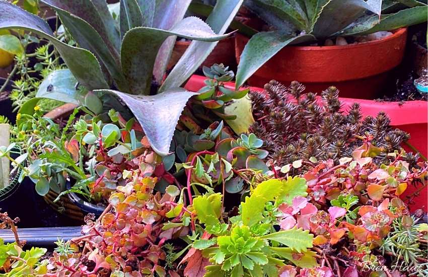 succulents in brens garden