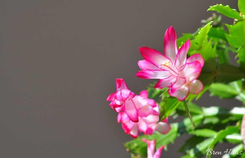 Christmas Cactus in Bloom at Thanksgiving