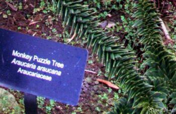monkey puzzle tree tag