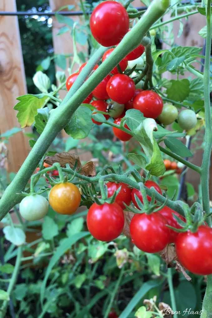 over 100 tomatoes with short mature date