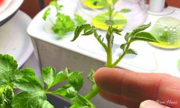 Mystery Plant in My Kitchen Garden