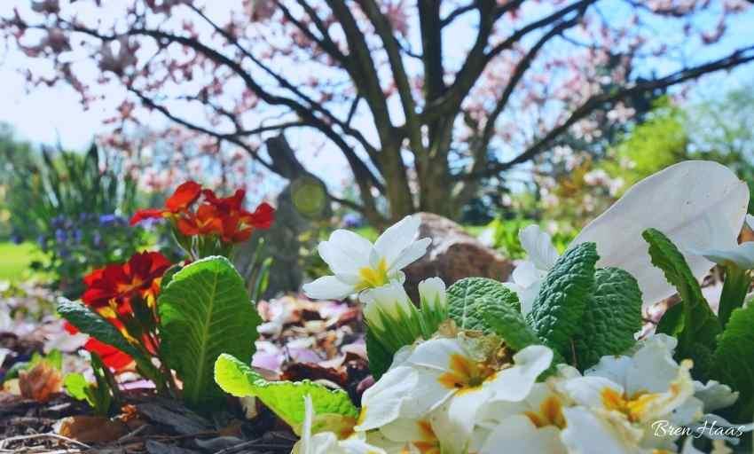 primrose in the garden