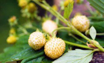pineberry on canva