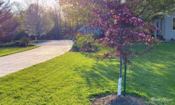 candymint crabapple tree along driveway in spring