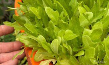 Oakleaf Lettuce in Dome Greenhouse