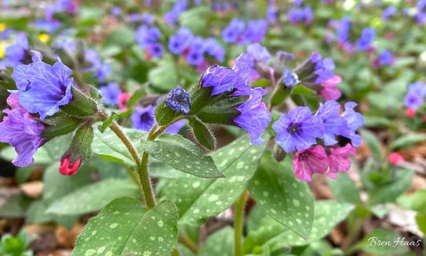 lower growing original pulmonaria