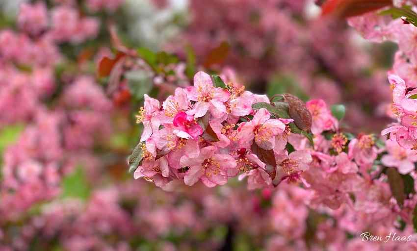 Scented Blooms of the Candymint Tree