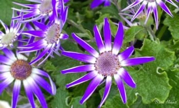 Blooming Senetti Spotted at Meijers