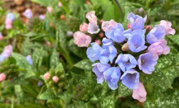 Pulmonaria Cluster Bloom