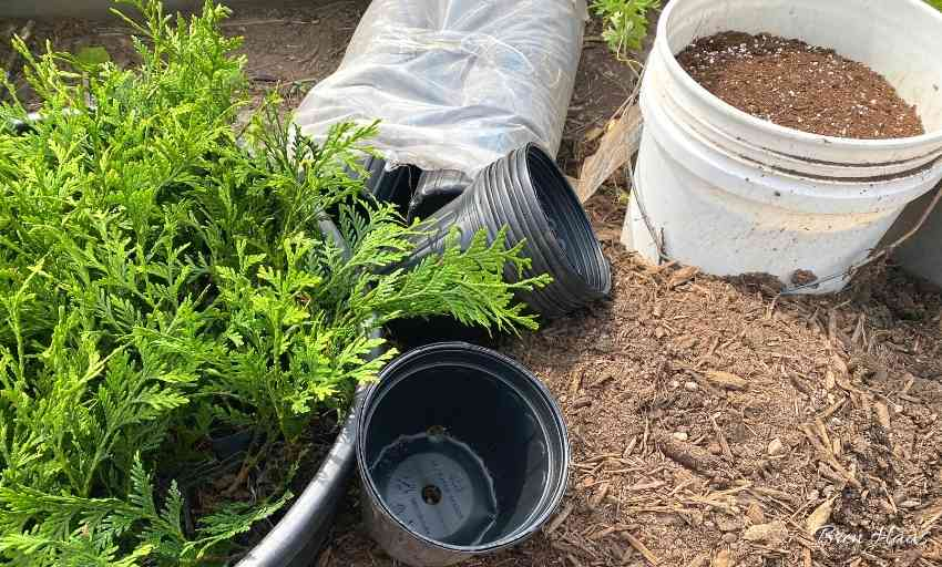 Supplies to Repot Thuja Giant