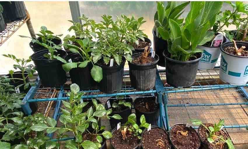 In the Greenhouse Before Planting in Garden
