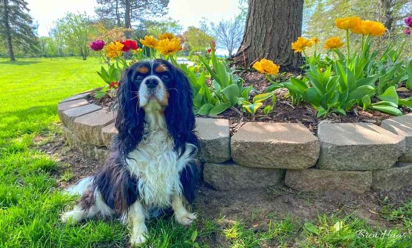 Oliver and Tulips in May