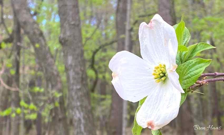 Dogwood Blooms at Oak Opening Park