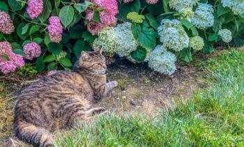 Kink Kitty in the Hydrangeas