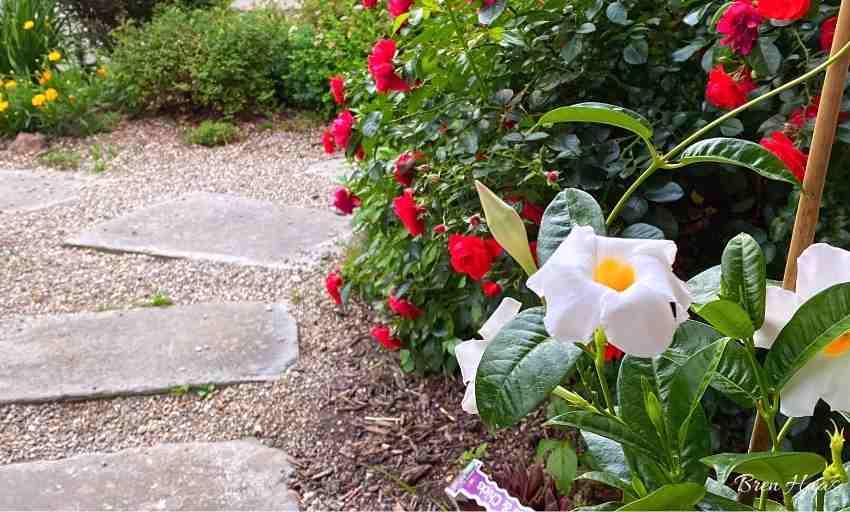 Blooming Now in My Garden June