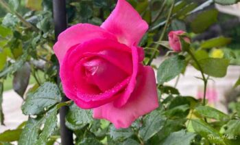 zephirine drouhin rose climber