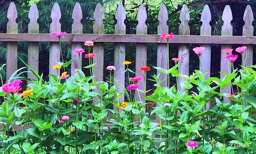 zinnias in fence space