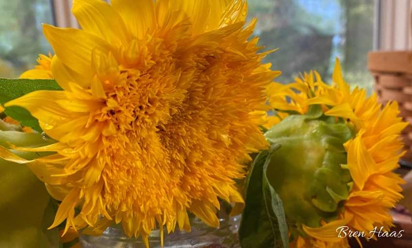 Golden Sunking Sunflower Review