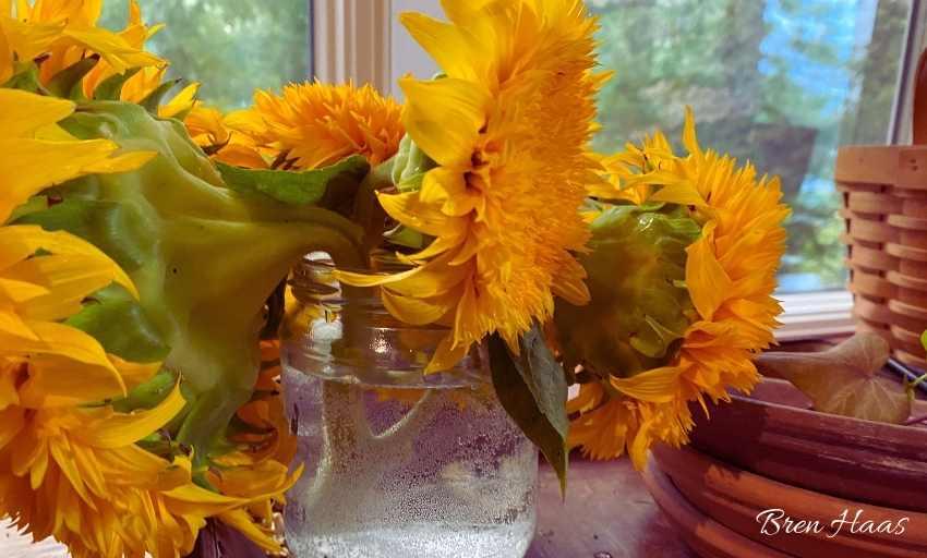 Heavy Blooms on the Golden Sunking Sunflower