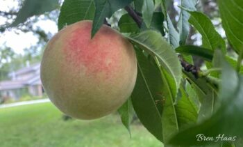 The Beautiful Peach in August