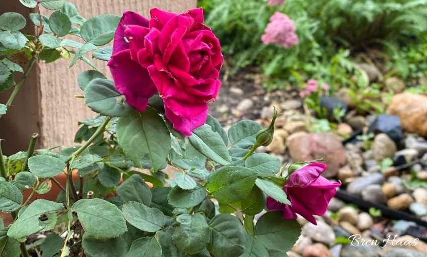 Brindabella Rose | Crimson Knight