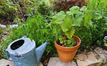 Herb Growing in Container
