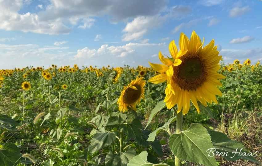 Pollinators Loving the Sunflower Blooms